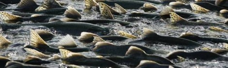 Record Salmon Returns From Alaska to California