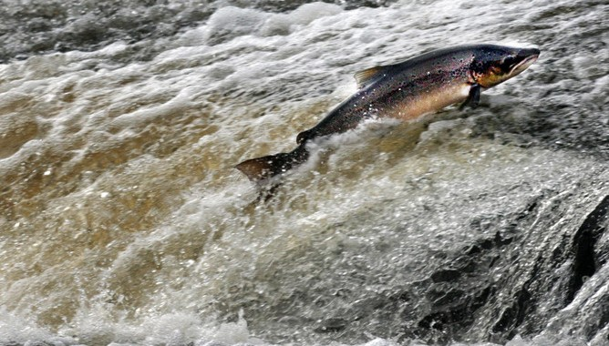 Atlantic Salmon Starving As Ocean Plankton Pastures Die . . . . . . . . We Can Feed Them