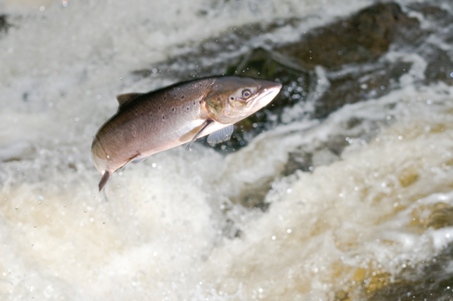 atlantic salmon starve as plankton pastures perish we