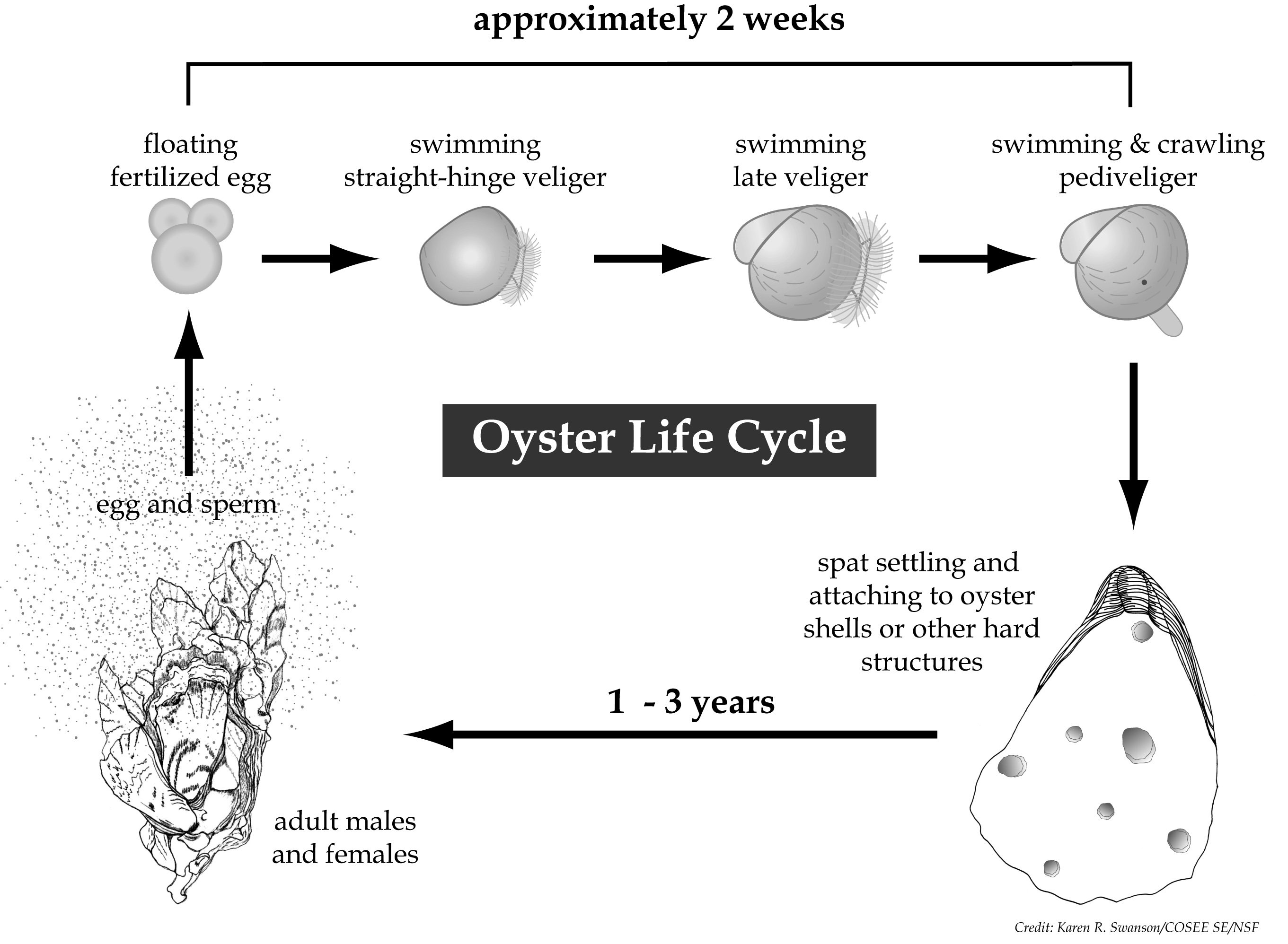 Oyster early life1
