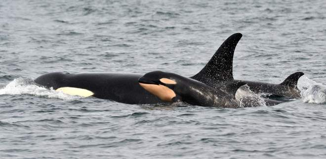 Orca Whale Baby Boom Miracle Follows Ocean Pasture Restoration